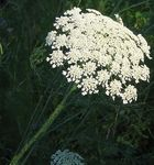 Title: Queen Anne's Lace