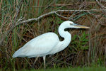 Title: Great White Heron