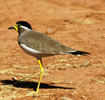 Title: Yellow wattled Laping