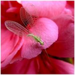 Title: Green Lacewings