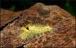 Title: Pale Tussock