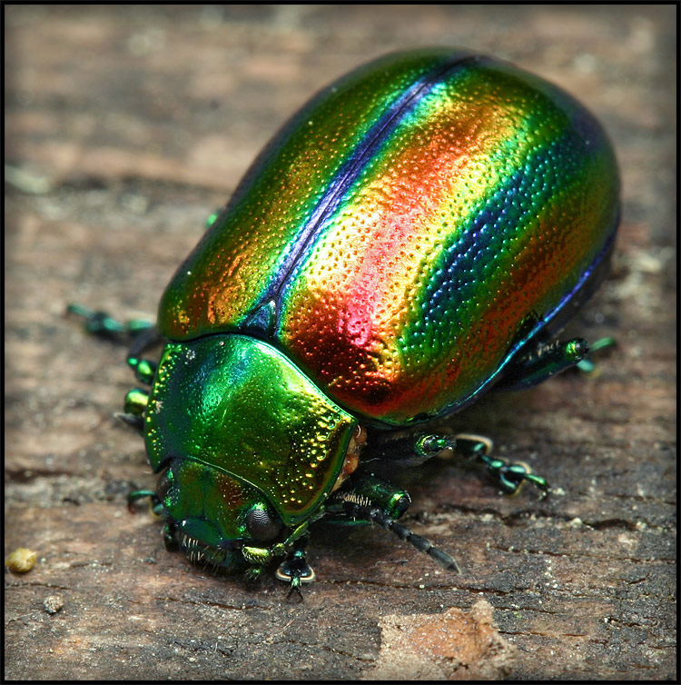 Rainbow or beetle