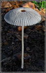 Title: Coprinus plicatilis