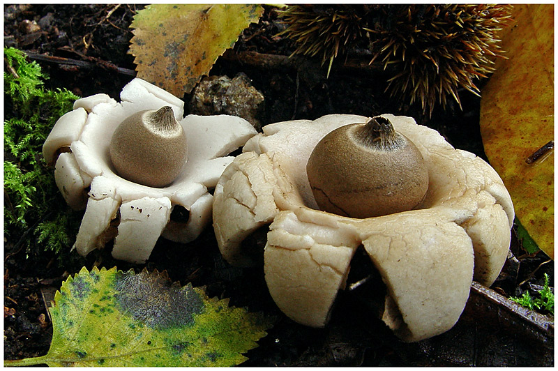 Earthstars