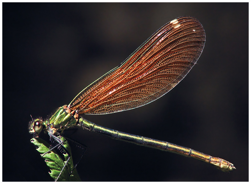 Odonata facts