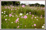Title: Cosmos flowers