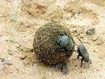 Title: Dung beetles