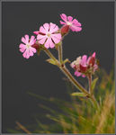 Title: Red Campion - Silene dioica