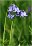 Title: 1st Bluebell this year?