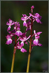 Title: Early Purple Orchids (V)