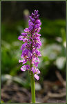 Title: Early Purple Orchid (IV)