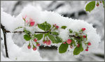 Title: Crab Apple Blossom in Snow