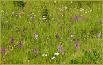 Title: Meadow Full of Green Winged Orchids