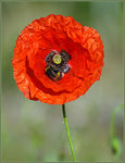 Title: One last Poppy and Bee Camera: Canon EOS 350D