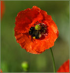 Title: Another Poppy Camera: Canon EOS 350D