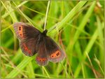 Title: Chasing Butterflies/Scotch Argus