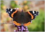 Title: Red Admiral Portrait