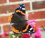 Title: Red Admiral Visitor