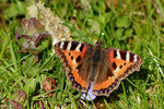 Title: Small Tortoiseshell (1st this year)