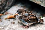 Title: Baby sparrow
