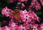 Title: Painted Lady.Minolta Dynax 404si