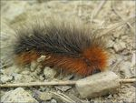 Title: Hairy caterpillarCanon A70