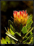 Title: First protea on UK soil