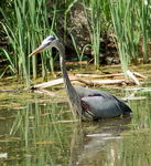 Title: Heron in Hunt modeNikon D50