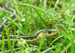 Title: Common Garter SnakeNikon Coolpix 8800