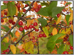 Title: Autumn berries