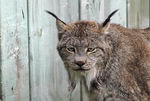 Title: Canadian Lynx