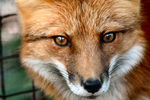 Title: red fox eyes