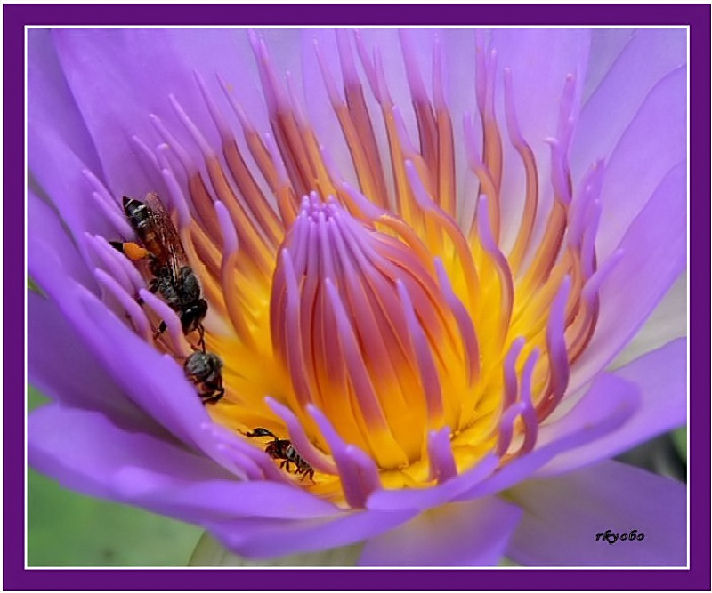 Bees in Lotus Blossom