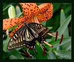 Title: Butterfly on tiger lilyCanon Powershot SD300