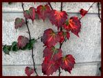 Title: Ivy in Autumn HuesPanasonic Lumix DMC-FZ30