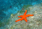 Title: Red Star starfish