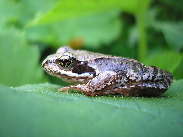 Young Froggie