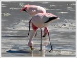 Title: Freezing Flamingos