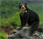 Title: Spectacled Bear