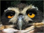 Title: Spectacled Owl