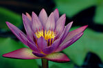 Title: Water Lilly