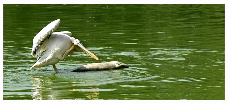 Itchy Pelican