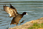 Title: American Coot