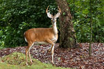 Title: White Tail DeerCanon EOS 1D Mark 111