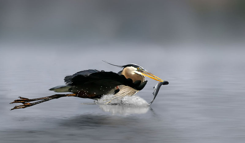 Dragging His Catch