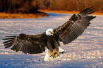 Title: Fishing Bald Eagle