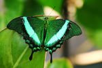 Title: Emerald SwallowtailCanon EOS 5D