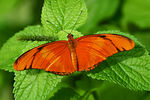 Title: Orange Julia Butterfly