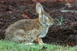 Title: Wild RabbitCanon EOS 1D Mark 111