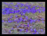 Title: The meadow of saffrons...Canon PowerShot S1 IS